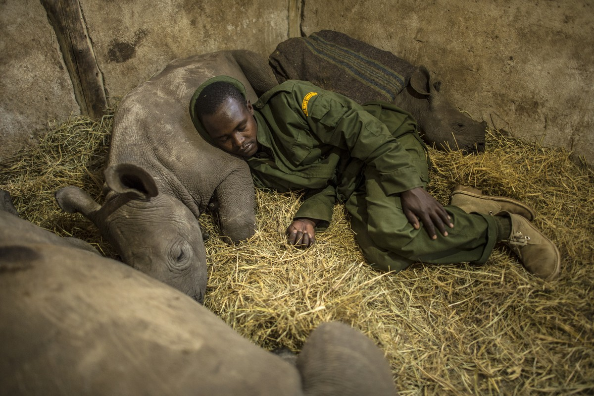 Kamara, a keeper at the Lewa Wildlife Conservancy in central Kenya, slept among three orphaned baby rhinos. The calf he rested his head on was orphaned when poachers killed his mother about 50 miles away.