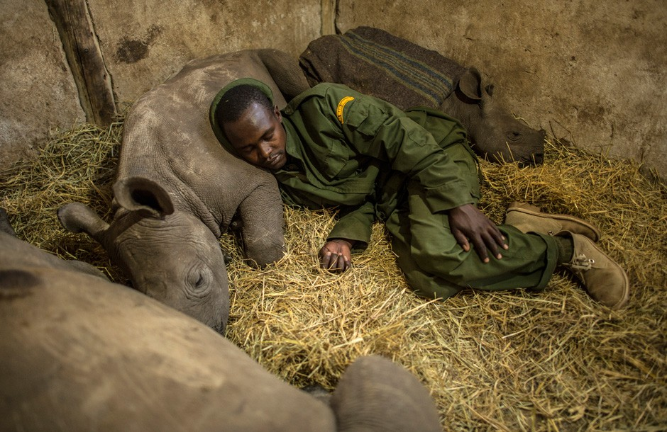 Orphaned baby southern white rhinos (with ranger Yusuf Gilisho) snooze after a meal of milk at the Lewa Wildlife Conservancy, in the foothills of Mount Kenya. Created in 1995, Lewa has become a role model for sustainable wildlife conservation throughout East Africa. Today, it hosts more than 60 rhinos. Photo by Ami Vitale