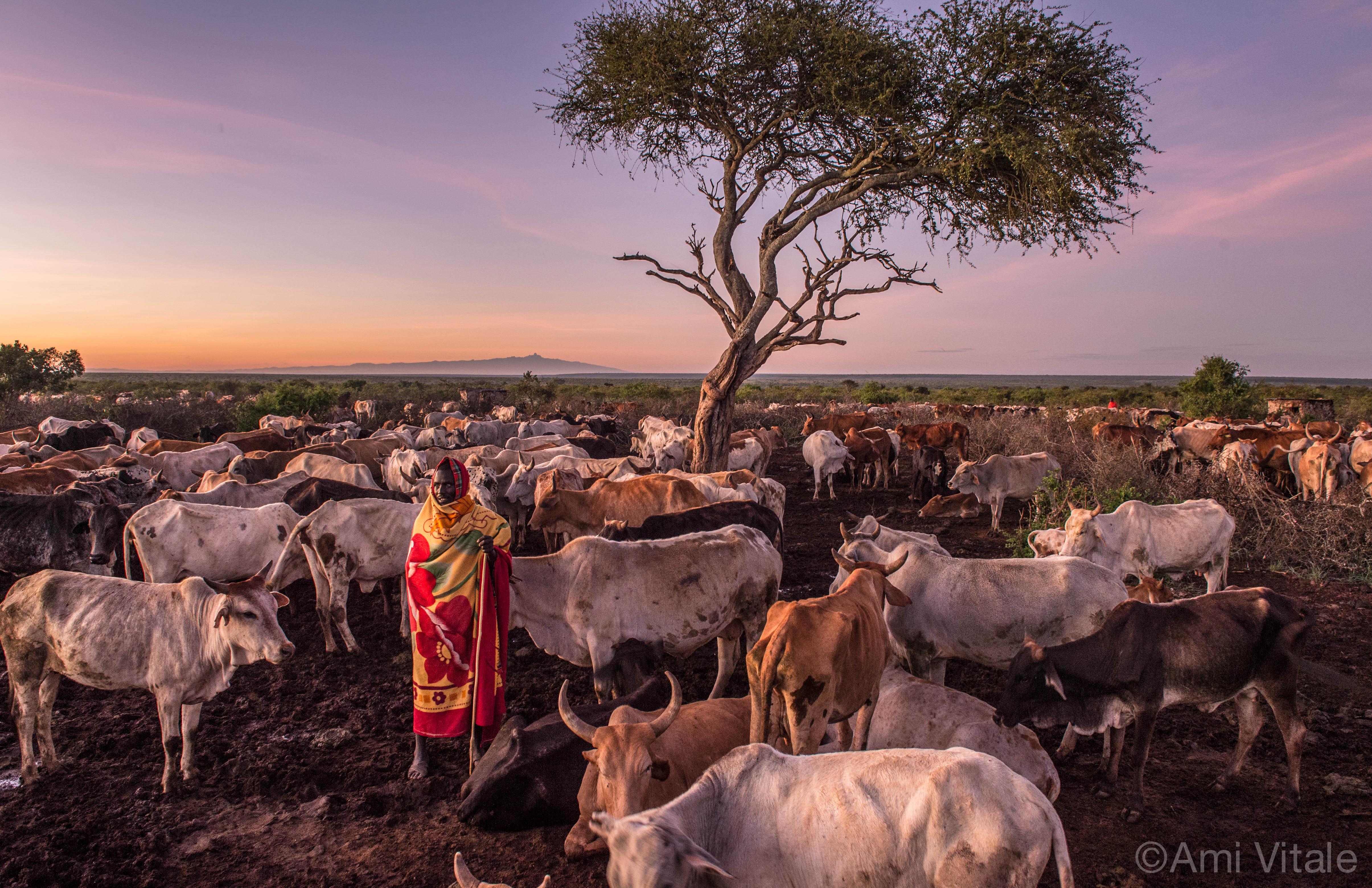Loisaba Kenya cattle driver