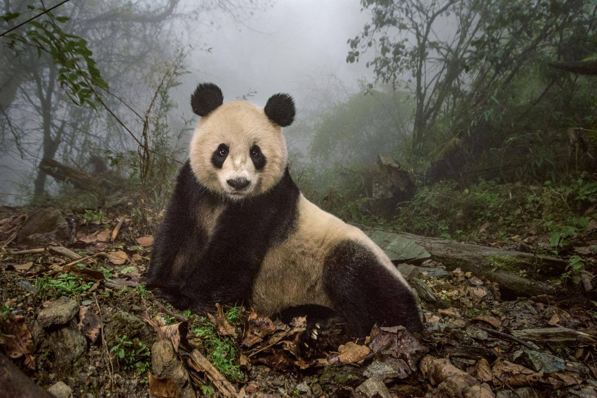 Rewilding Pandas in China feature