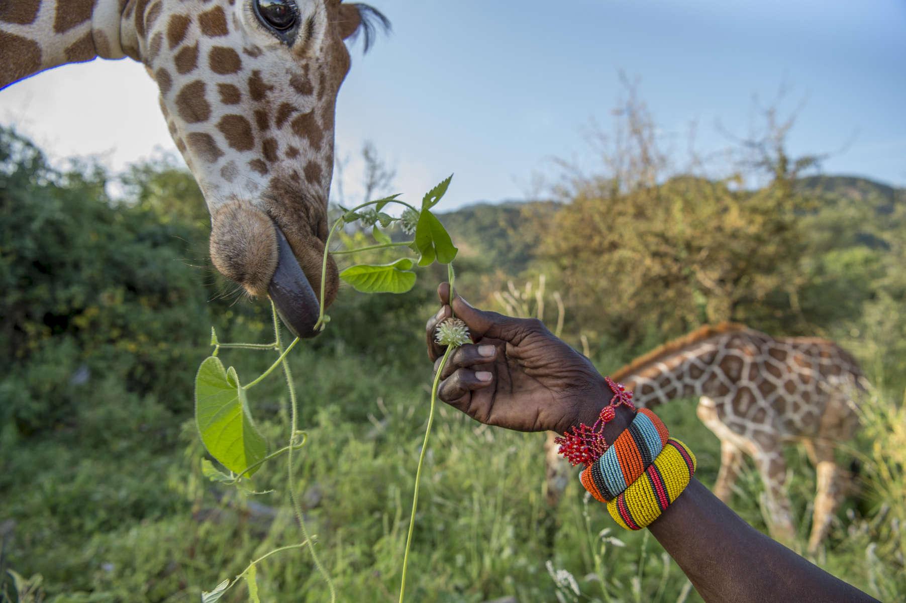 Reticulated giraffe at Sarara Camp