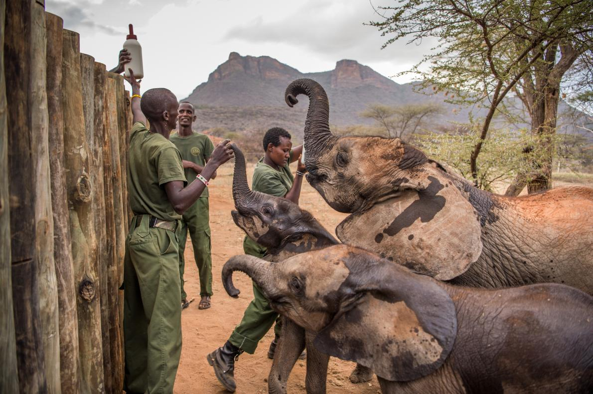 Keepers feed elephants at Reteti