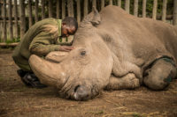 A wildlife ranger comforts Sudan, the last living male Northern White Rhino left on the planet
