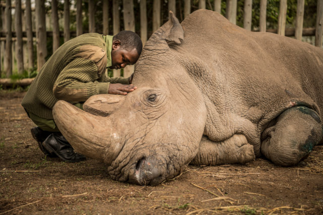 The World's Last Male Northern White Rhino