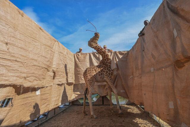 A Daring Giraffe Rescue